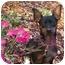 Photo 1 - Miniature Pinscher Puppy for adoption in Chicago, Illinois - Roxie