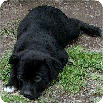 Rottweiler/Labrador Retriever Mix Puppy for adoption in Colville, Washington - Tank