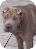 Shar Pei Dog for adoption in Beloit, Wisconsin - Woody Girl