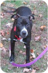 Labrador Retriever/Pit Bull Terrier Mix Dog for adoption in Bloomfield, Connecticut - Toola Roola
