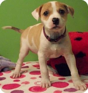 Boxer/Labrador Retriever Mix Puppy for adoption in Struthers, Ohio - Zoey
