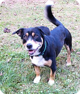 Corgi/Bernese Mountain Dog Mix Dog for adoption in Mocksville, North Carolina - Huckleberry