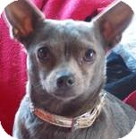 Chihuahua Mix Dog for adoption in San Diego, California - Chicklet