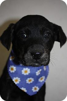 Plott Hound/Labrador Retriever Mix Puppy for adoption in Stilwell, Oklahoma - Daisy