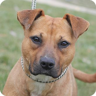 Pit Bull Terrier Mix Dog for adoption in Springfield, Illinois - Tinkerbell