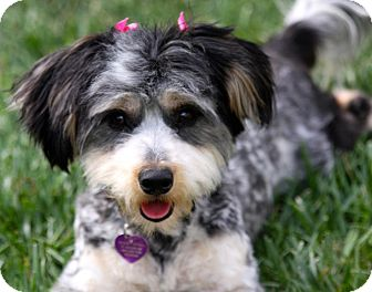 Havanese Dog for adoption in Mission Viejo, California - RAINEY