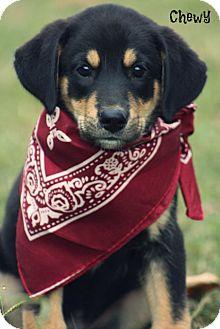 Rottweiler/Hound (Unknown Type) Mix Puppy for adoption in Brattleboro, Vermont - Chewy