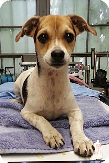 Jack Russell Terrier Mix Puppy for adoption in Lawrenceville, Georgia - Devin