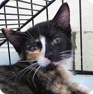 Domestic Shorthair Kitten for adoption in Middletown, New York - Zuri