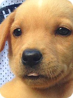Labrador Retriever Mix Puppy for adoption in Nashville, Tennessee - Gigi