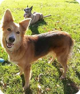 Collie Mix Dog for adoption in Plattsmouth, Nebraska - Logan