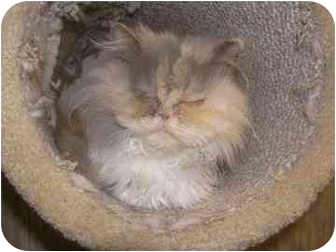 Persian Cat for adoption in Laurel, Maryland - Mozelle
