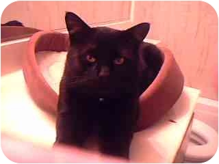 Domestic Shorthair Cat for adoption in Tracy, California - Sammy