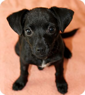 Chihuahua Mix Puppy for adoption in San Diego, California - Polly