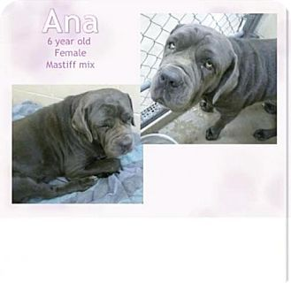 Neapolitan Mastiff Dog for adoption in Indianapolis, Indiana - Ana