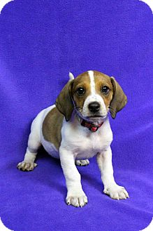 Hound (Unknown Type)/Beagle Mix Puppy for adoption in Westminster, Colorado - Bibi