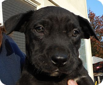 Labrador Retriever/Shar Pei Mix Puppy for adoption in Oakley, California - Baby Oh Henry!