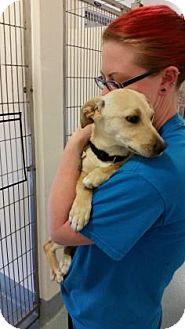Labrador Retriever Mix Puppy for adoption in Belle Chasse, Louisiana - Buttercream