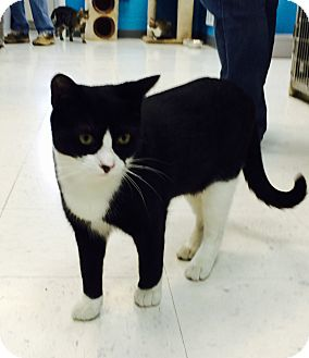 Domestic Shorthair Cat for adoption in Oakland, New Jersey - Bentley