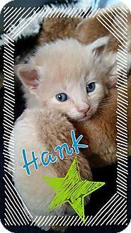 Maine Coon Kitten for adoption in Rocklin, California - Hank the Tank