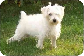 Schnauzer (Miniature)/Poodle (Miniature) Mix Puppy for adoption in Taylor Mill, Kentucky - Minnie