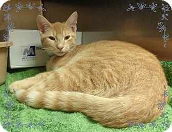 Domestic Shorthair Kitten for adoption in Marietta, Georgia - GOLDEN