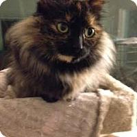 Domestic Mediumhair Cat for adoption in Alamo, California - Tess