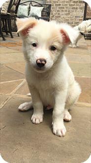 Shepherd (Unknown Type) Mix Puppy for adoption in Chicago, Illinois - Mannie