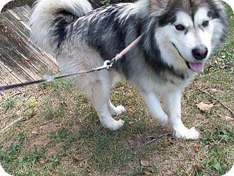 Alaskan Malamute Mix Dog for adoption in Augusta County, Virginia - Regis - 18 months