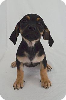 Dachshund/Hound (Unknown Type) Mix Puppy for adoption in San Diego, California - Lavender