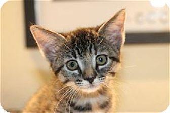 Domestic Shorthair Kitten for adoption in Lincoln, California - Simone