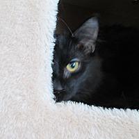 Bombay Cat for adoption in San Bernardino, California - SugarRay