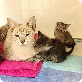 Domestic Shorthair Cat for adoption in Dallas, Texas - Bala