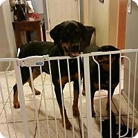 Adopt A Pet :: Meathead - Gilbert, AZ