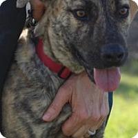 Plott Hound Mix Dog for adoption in Von Ormy, Texas - Newton
