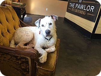 Wirehaired Fox Terrier/Schnauzer (Standard) Mix Dog for adoption in Bonaire, Georgia - Einstein