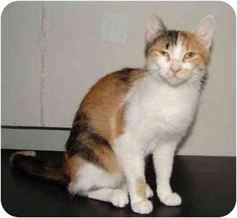 Domestic Shorthair Cat for adoption in Chepachet, Rhode Island - ID# 406