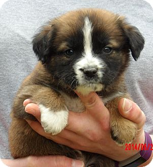 Border Collie/Shepherd (Unknown Type) Mix Puppy for adoption in West Sand Lake, New York - Caesar (5 lb) Video!