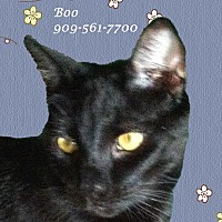 Domestic Shorthair Cat for adoption in Monrovia, California - Boy BOO