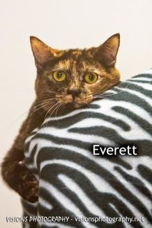 Domestic Shorthair/Domestic Shorthair Mix Cat for adoption in Cedar Rapids, Iowa - Everett