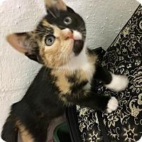 Adopt A Pet :: Forsythia - River Edge, NJ