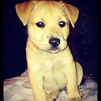 Labrador Retriever Mix Puppy for adoption in Grand Bay, Alabama - Becky