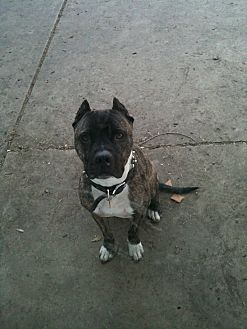 American Pit Bull Terrier Dog for adoption in Vernon Hills, Illinois - Beau