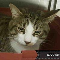 Adopt A Pet :: KIT KAT - Toronto, ON