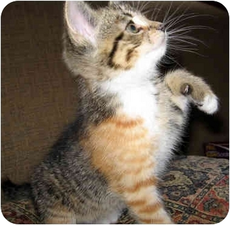 Domestic Shorthair Kitten for adoption in Troy, Michigan - Speedy