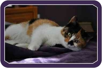 Domestic Shorthair Cat for adoption in Sterling Heights, Michigan - Clare - ADOPTED!