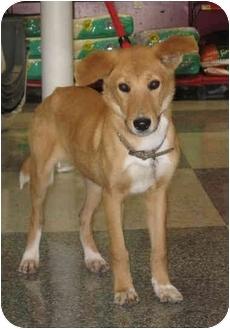Shepherd (Unknown Type)/Collie Mix Dog for adoption in Houston, Texas - Hadley