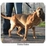 Photo 4 - Bloodhound Dog for adoption in Franklin Grove, Illinois - Daisy Duke
