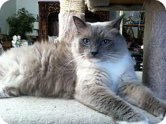 Ragdoll Cat for adoption in Davis, California - Sebastion