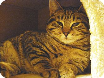 Domestic Shorthair Kitten for adoption in Tillamook, Oregon - Mr Jack